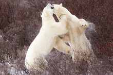 Two Young, Male Polar Bears Spar Near Churchill, Manitoba, Canada.