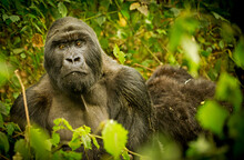 A Silverback Mountain Gorilla Sits Contently Among His Family Group.