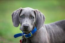Portrait Of A Weimaraner Puppy.