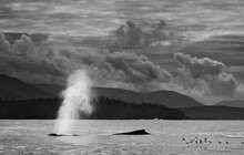 Humpback Whale, Sitka, Alaska