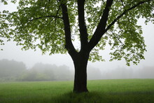 A Majestic Maple Tree Sits On The Edge Of A Foggy Spring Field, Cape Elizabeth, Maine
