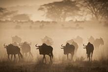 Wildebeest Migration On The Grassy Plains Of The Masai Mara, Kenya.