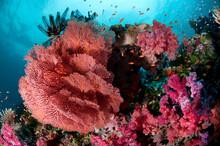 Fiji Reef Scene With Soft Corals, Gorgonans, And Schools Of Anthias.