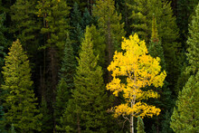 A Lone Aspen Tree Stands Out With Its Bright Yellow Leaves In A Sea Of Green Pine Trees During Fall In The Rocky Mountains Of Colorado.