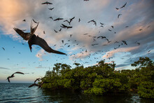 Frigate Birds Swarm Bird Island Just Before Sunset Where They Nest And Roost, Belize.