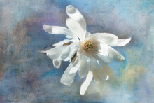Digital Painting Of A Star Magnolia Blossom.
