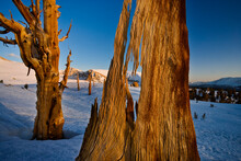 Foxtail Pines And Mt Whitney, Sierra Nevada Mountains, Sequoia National Park