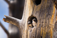 Swallow Chicks Poke Their Heads Out Of Their Nest In Anticipation Of Their Mother Returning In Yellowstone National Park, Wyoming.