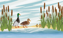 Family Of Mallard Ducks Anas Platyrhynchos. A Drake, A Duck And Two Ducklings Learn To Swim. Lake Shore With Reeds. Sandy Shore Of The Pond. Countryside. Vector Realistic