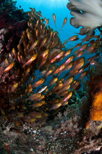 A School Of Golden Sweepers Swims Though The Reefs Of Raja Ampat.
