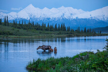 A Mother Moose Feeding In Wonder Lake Is Joined By Her Twins With The Last Light Of The Long Summer Days In Denali National Park.