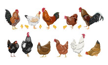 A Set Of Domestic Hens, Roosters And Chickens Of Different Colors And Breeds. Realistic Domestic Vector Birds Gallus Gallus Domesticus.