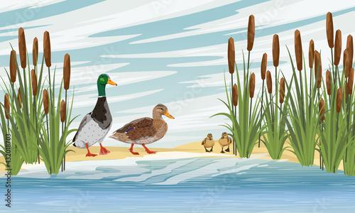 Stampa su Tela Family of mallard ducks Anas platyrhynchos