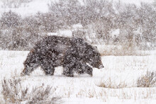 A Male Grizzly Bear Walks Through Willow Flats During A Late Winter Storm In Grand Teton National Park, Wyoming.