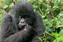 Gorilla Portrait In Virunga Mountains Rwanda.