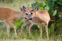 Two Key Deer (Odocoileus Virginianus Clavium) Nuzzle In Big Pine Key, Florida.