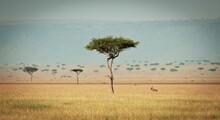 A Lone Topi Antelope Watches His Surroundings In The Masai Mara, Kenya.