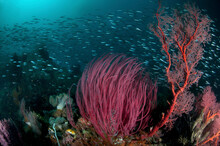 A School Of Fusiliers Swim Past A Raja Ampat Reef With Various Corals In Foreground.