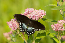 A Spicebush Swallowtail (Papilio Troilus) Feeds From Milkweed (Asclepias Sp.) Flowers In A Virginia Wetland.