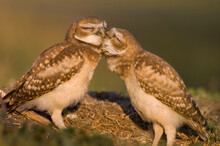 Two Juvenile Burrowing Owls Preen One Another At A Golf Course In Davis, USA.