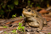 A Cane Toad (Bufo Marinus), An Invasive Species From Central And South America, Photographed In South Florida.