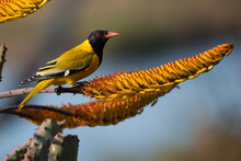 An African Black-headed Oriole Perches On The Branch Near The Flowers Of An Aloe Plant In The Mjejane Game Reserve, Kruger National Park In South Africa.