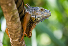 Portrait Of A Green Iguana Basking On A Tree In The Jungle Along The Monkey River, Belize.
