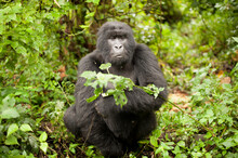 A Wild Mountain Gorilla At Virunga National Park In The Democratic Republic Of The Congo