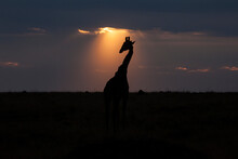 A Giraffe Is Silhouetted Against The Sky As The Sun Descends. Taken In The Masai Mara Game Reserve In Kenya.