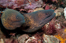 A Pair Of Moray Eels Share The Same Hole In Amed, Bali.