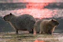 A Female Capybara (Hydrochoerus Hydrochaeris) And Two Young In Brazil's Pantanal.