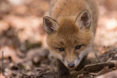 Fototapeta premium Junger Fuchswelpe im Wald
