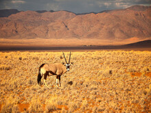 An Oryx (or Gemsbok) Poses In The Morning Sunlight By A Mountain Range In The Namib Desert, Namibia