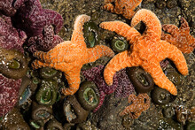 Starfish, Sea Anemone And Muscles On Rock At Low Tide, Bandon Beach, Oregon