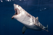 Mexico, Baja California, Pacific Ocean. A Great White Shark With The Mouth Open To Grab A Fish At Guadalupe Island.