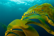 Golden Kelp Fronds Sway In The Ocean Currents Off San Clemente Island In Southern California.