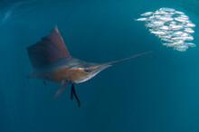 Atlantic Sailfish Hunt And Feed On Sardine Schools Off The Coast Of Mexico.