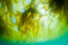 Giant Kelp, Macrocystis Pyrifera, Catalina Island, California.