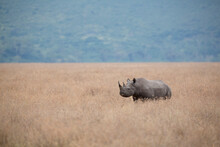 A Solitary Black Rhinoceros Walks Through A Field Of Dried Grass In The Ngorongoro Crater.