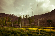 A Row Of Thin Trees In Front Of A Field Of Yellow Flowers With Stupas In The Background In A Valley Near The Village Of Alchi In Ladakh, India