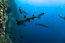 Mexico, Baja California, Revillagigedo Islands. A Group Of White Tip Sharks Swimming At Roca Partida.