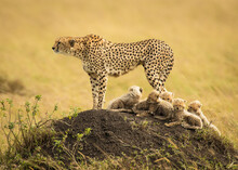 A Cheetah Mother Catches Sight Of A Lion On The Distant Horizon, One Her Deadliest Enemies, In The Masai Mara, Kenya.