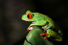A Captive, Red-Eyed Tree Frog, Agalychnis Callidryas, Native To Central America On Display In Rock Nook Park In Santa Barbara, California.