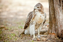 Close Up Of Red Tailed Hawk With Squirrel Kill In Texas
