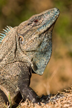 Closeup Of A Black Spiny-tailed Iguana (Ctenosaura Similis) In Costa Rica.