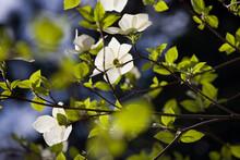 Dogwood Flowers, Yosemite National Park