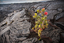 A Young ª≈çhiªa Lehua (Metrosideros Polymorpha) Tree Has Sprouted Up And Flowered In A Crack From A Lava Flow Which Is Just A Few Years Old. Kilauea Volcano, Hawaii.