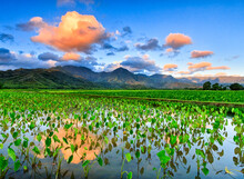 Hanalei National Wildlife Refuge, Kauai: Sunrise Reflected On Flooded Taro Fields.