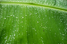 Water Droplets Rest On A Banana Leaf After A Downpour On Little Corn Island In Nicaragua.