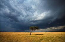 A Lone Acacia Tree Under Stormy Skies In Kenya's Masai Mara National Reserve.